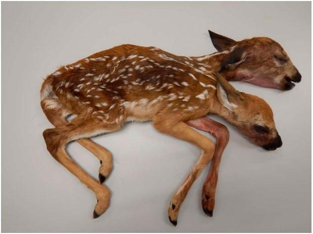 El extraño caso del ciervo de dos cabezas conmocionó a Estados Unidos