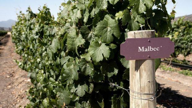 El orujo del Malbec ayudaría a prevenir enfermedades cardiovasculares
