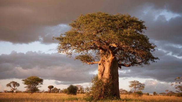 Empezaron a morir los baobabs africanos y no se sabe la causa